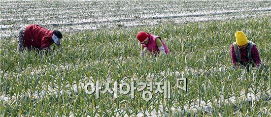 [포토]마늘밭에서 봄맞이 하는 아낙네들
