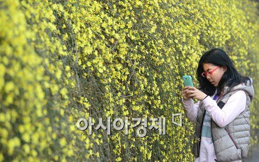 [포토]봄햇살 받는 영춘화