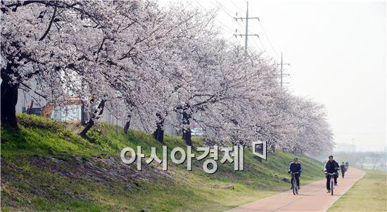 순천의 젖줄 동천에 벚꽃이 만개해 상춘객들의 발길을 사로잡고있다.