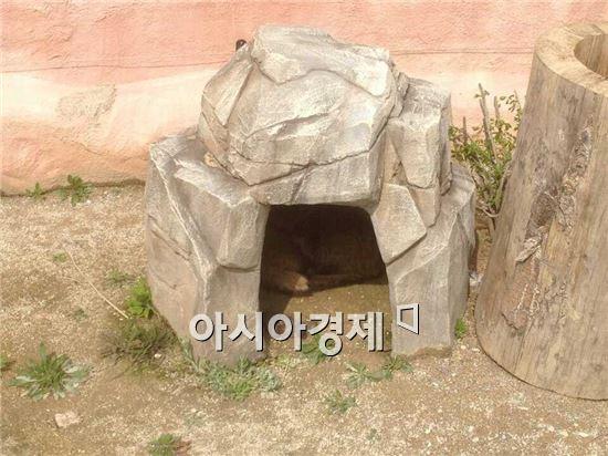 순천만 정원에 31일 새벽에 야생동물원에서 아기 너구리 5마리 분만 했다.