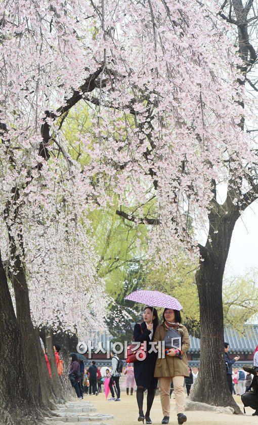 ▲비오는 날 시민들이 우산을 받쳐든 채 벚꽃을 감상하고 있다.