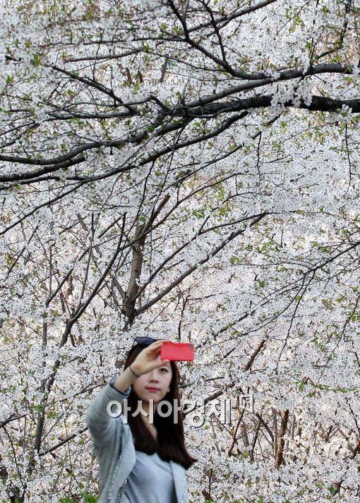 [포토]벚꽃 구경하는 시민들