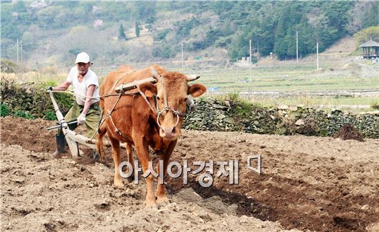 본격적인 농번기를 앞두고 6일  전남 여수시 상암동 자매리의 논에서 한해 농사의 시작을 알리는 쟁기질이 한창이다. 한 농부가 요즘에 보기 힘든 황소를 이용해 땅을 갈아엎는 전통적인 쟁기질 장면이 인상적이다. 사진제공=여수시