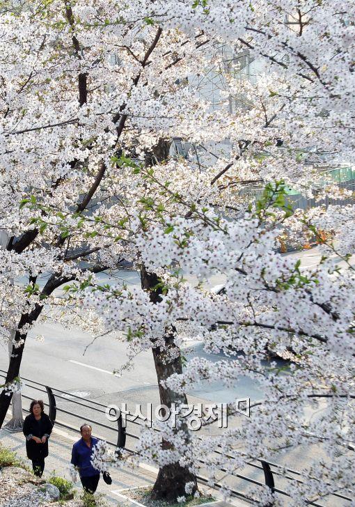 [포토]만개한 벚꽃, 주말 즐기는 시민들