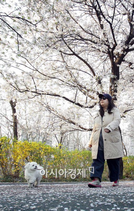 [포토]만개한 벚꽃, 강아지도 즐거워~