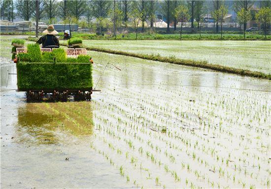 <전남 담양군 금성면 이경용씨의 조기햅쌀단지에서 21일 첫 모내기가 실시됐다. 담양군은 농가 고소득을 위해 '대숲맑은 조기햅쌀단지 조성사업'을 계속 확대하기로 했다.>
