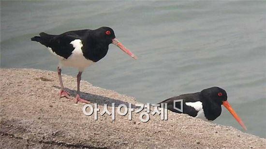 검은머리물떼새