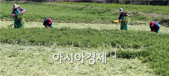 30일 함평군 학교면 죽정리 한 들녘에서 농민들이 따스한 봄햇볕 아래 파릇파릇한 미나리를 수확하고 있다. 사진제공=함평군