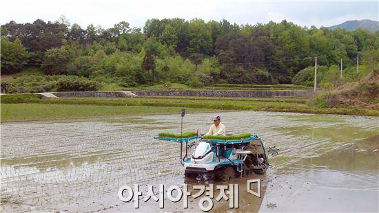 친환경 농업인인 홍순영 씨를 비롯한 농가들이 광의면 온당리 일원 벼논 1㏊에 조생종 품종벼로 첫 모내기를 시작했다.