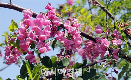 휴일인 18일 전남 장흥군농업기술센터 입구에 붉은 아카시아 꽃이 만개해 화제가 되고 있다.  장흥군농업기술센터입구에 나무 한 그루가 최근 붉은 색 아카시아 꽃이 활짝 펴 주민들의 발길이 이어지고 있다.