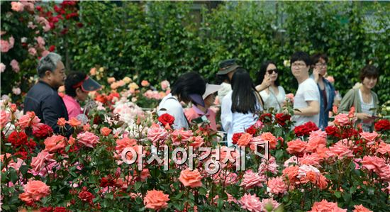 계절의 여왕 5월, 조선대 캠퍼스에 형형색색의 장미꽃들이 만개해 장관을 이루고 있다. 요즘 장미들의 환한 미소가 가득한 장미원은 유치원생과 초등학생 견학장소로 최고 인기다.