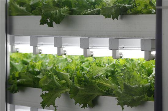 일본의 한 식물공장에서 야채가 자라고 있다. 사진=블룸버그