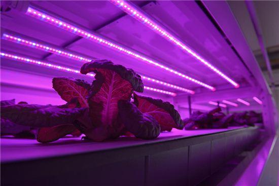 식물공장은 조명의 파장을 채소 생육에 가장 적합하도록 맞춰 쏘여준다. 사진=블룸버그