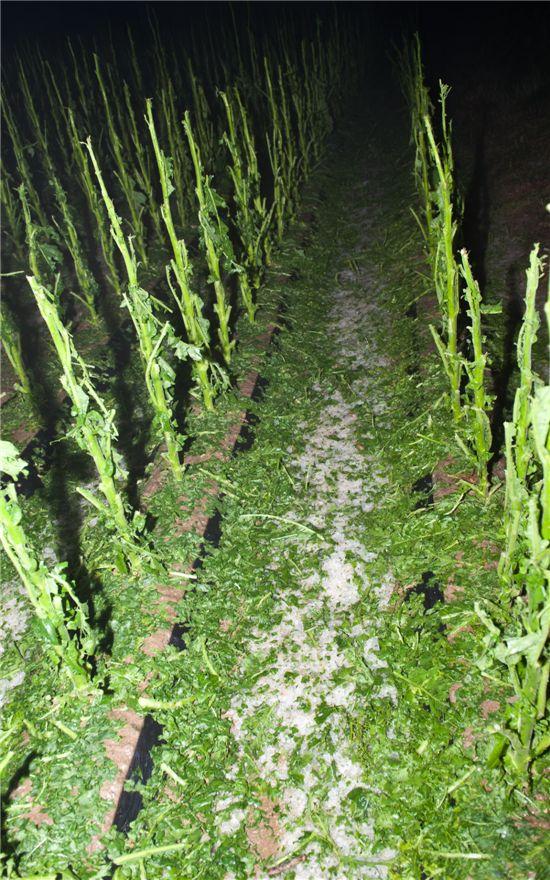 우박으로 큰 피해를 입은 음성지역 농작물 모습