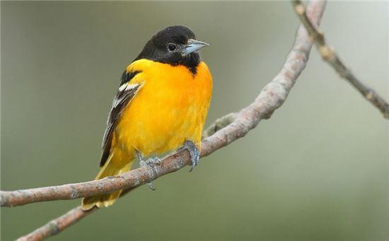 ▲새들의 노래소리에서 인간의 말은 진화했을까? 멜로디를 가져왔다는 연구결과가 나왔다.[사진제공=사이언스]