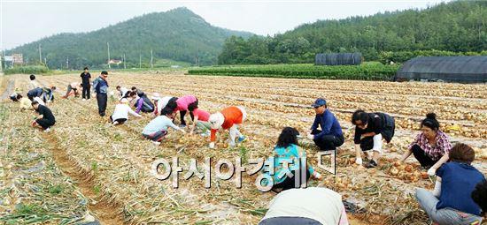 서울시 관악구 부녀회원들이 해남군에서  양파를 수확하고 있다.