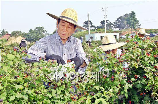 김생기 정읍시장이 공무원들과 복분자 수확을 위해 구슬땀을 흘리고있다.