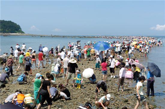 무창포해수욕장 '신비의 바닷길'에 모여든 관광객들이 해산물을 잡고 있다.