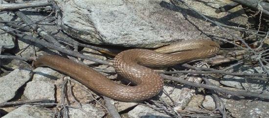 <무등산 국립공원에서 담비와 삵 등 멸종위기 야생동물들의 서식이 계속 포착되고 있다. 사진은 이번 모니터렁에서 최초로 확인된 구렁이.>