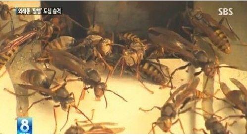 최근 개체수가 급증한 말벌들[사진=SBS 뉴스영상 캡처]