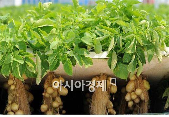 분무경 양액재배 우량씨감자 생산