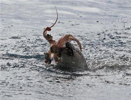 ▲몽크바다표범이 문어를 사냥하고 있다.[사진제공=뉴사이언티스트]