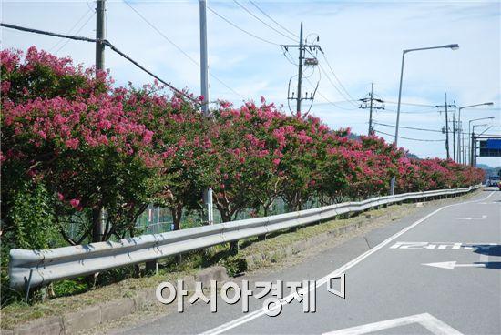 순천~보성 경계간 국도 2호선변에 분홍빛 배롱나무 만개해 장관이다.
