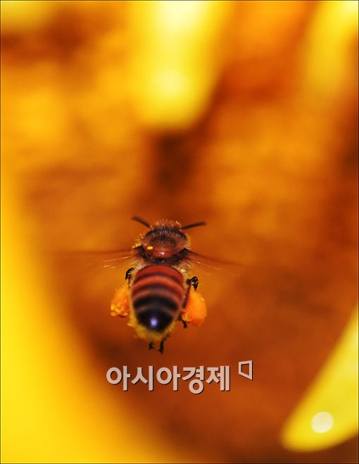 [포토]폭염도 못 말리는 꿀벌