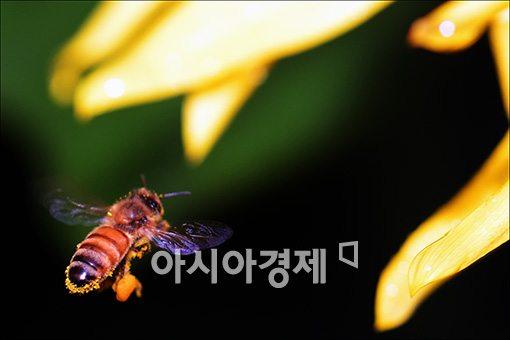 [포토]부지런한 꿀벌