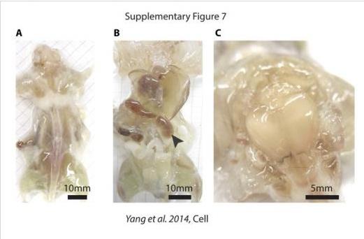 최근 국제 학술지 '세포연구(Journal Cell)'에는 '시스루(see-through) 쥐'(투명쥐)의 모습이 공개됐다.
