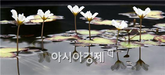 가을비가 내리는 가운데 20일 전남 함평군 대동면 함평자연생태공원에서 꽃망울을 터뜨린 어리연이 청초한 자태를 뽐내고 있다. 함평자연생태공원에는 어리연외 100종의 수련이 활짝 펴 장관을 이루고 있다.
