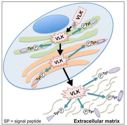 ▲VLK의 단백질 티로신 인산화 기능.[사진제공=미래부]