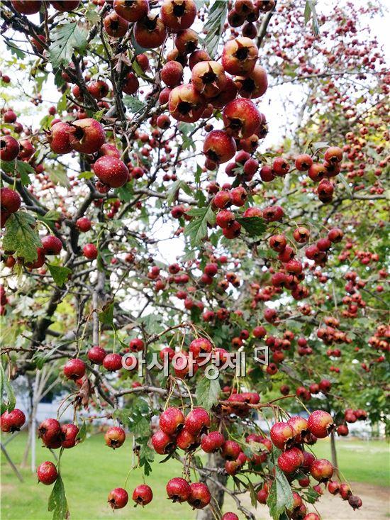 민족의 대명절 한가위를 하루 앞둔 7일 광주시 서구 치평동 상무지구 5.18기념공원 숲에서 애기사과가 붉게 익어가고  있다.