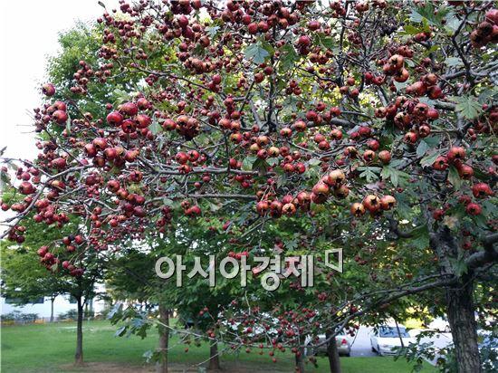 민족의 대명절 한가위를 하루 앞둔 7일 광주시 서구 치평동 상무지구 518기념공원 숲에서 애기사과가 붉게 익어가고 있다.