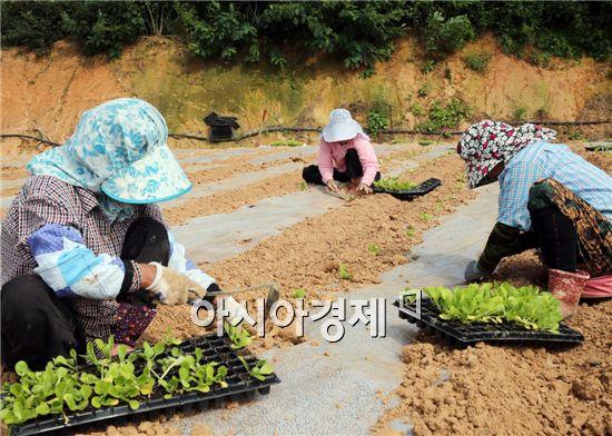 초가을 날씨가 이어지는 가운데 12일 전남 함평군 함평읍 장년리 한 들녘에서 아낙들이 올 겨울 김장에 쓸 가을배추를 분주히 심고 있다. 사진제공=함평군 노호성씨