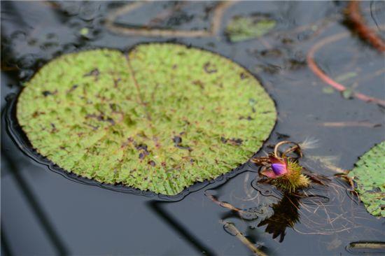 매우 큰 잎(왼쪽)을 가진 가시연꽃이 홍성역재방죽에서 피어 눈길을 끈다.