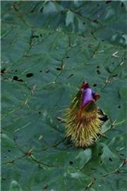 멸종위기식물 가시연꽃