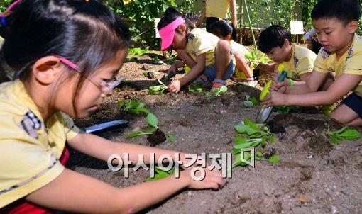 [포토]'가을 배추 모종 심기'