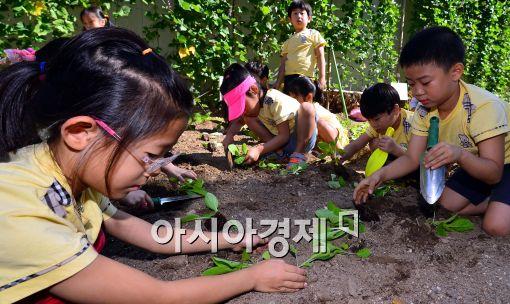 [포토]가을 배추 모종 심는 어린이들