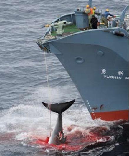 일본 고래잡이/일본의 과학포경선의 작살포에 맞은 밍크고래 [사진=WSPA]