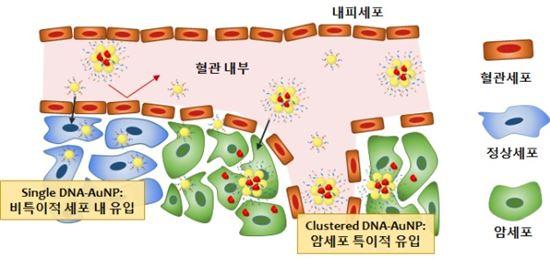 ▲집화된 DNA가 접합된 금 나노입자의 암세포 특이적 유입.[사진제공=미래부]