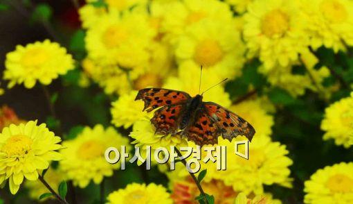 [포토]가을 국화 찾은 나비
