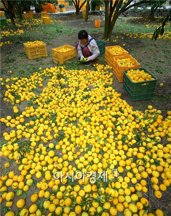 전국 최대 유자 주산지인 고흥에서요즘  유자 수확이 한창이다.