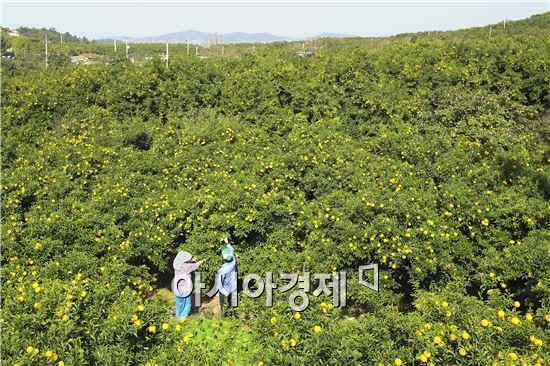 전국 최대 유자 주산지인 고흥에서 유자 수확이 한창이다.