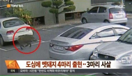 경주 도심 멧돼지 소동 [사진=MBC 뉴스 캡쳐]