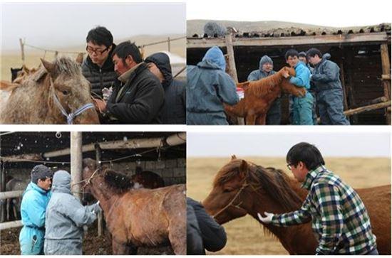 ▲국내 연구팀이 몽골 현지에서 말 백신에 대한 임상실험을 진행하고 있다.[사진제공=미래부]