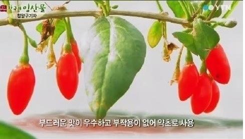 구기자[사진=YTN 방송 캡처]