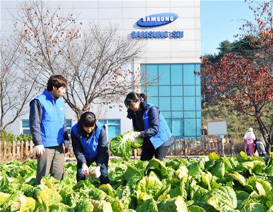 삼성SDI 기흥본사에 위치한 '소통의 텃밭'에서 임직원들이 직접 기른 배추를 수확하고 있다.