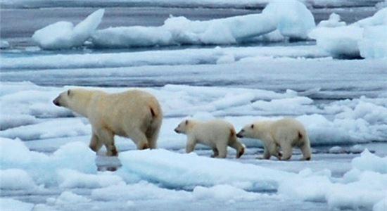 ▲어미 북극곰과 아기 곰.[사진제공=NASA]