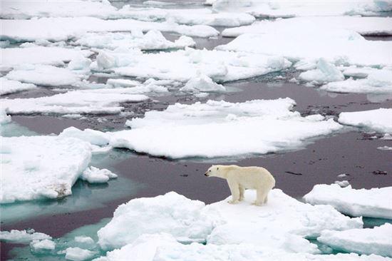 ▲바다 얼음이 사라지면 북극곰이 위기에 처했다.[사진제공=NASA]